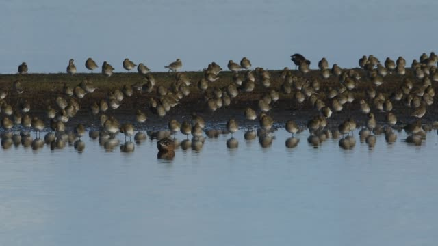 a flock of magnificent golden plover, pluvialis apricaria, resting and preening along with other wading birds on an island in freshwater estuary on the norfolk coast. - 毛づくろい点の映像素材/bロール