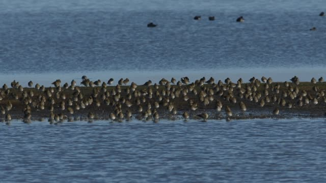 a flock of magnificent golden plover, pluvialis apricaria, resting and preening along with other wading birds on an island in freshwater estuary on the norfolk coast. - animal mouth stock videos & royalty-free footage