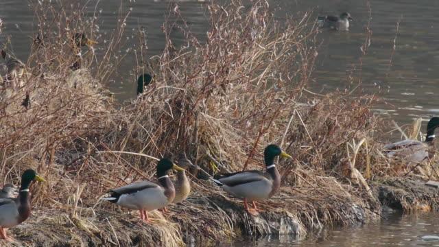 flock of mallard ducks flying up - mallard stock videos and b-roll footage