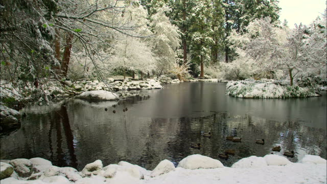 A flock of mallards swims in a forest pond on a winter day.