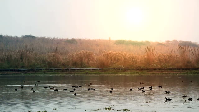 flock of moorhen bird or mallard bird  in the lake water - water bird stock videos & royalty-free footage