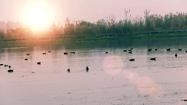 herde von teichhuhn vogel oder stockente vogel im seewasser - water bird stock-videos und b-roll-filmmaterial