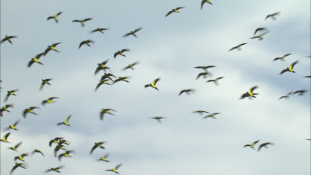 WS LA TS Flock of Nanday Parakeets (Nandayus nenday) flying and landing on treetop / Pantanal, Mato Grosso do Sul, Brazil