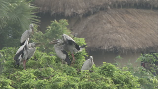 a flock of openbill storks perches in the treetops near thatched roofs of huts available in hd. - perching stock videos & royalty-free footage