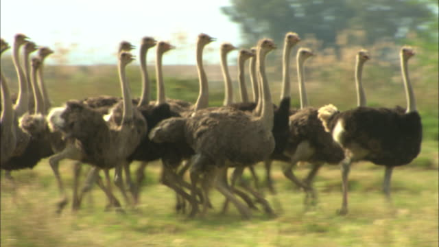 ms, pan, flock of ostriches running through grass, south africa - flüchten stock-videos und b-roll-filmmaterial