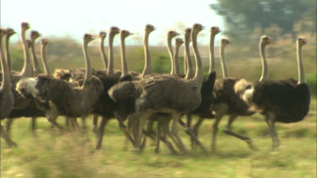 vidéos et rushes de a flock of ostriches runs through grass. - oiseau qui ne vole pas