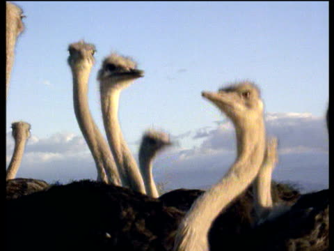 flock of ostriches stick heads up in air for better view - excitement stock videos & royalty-free footage