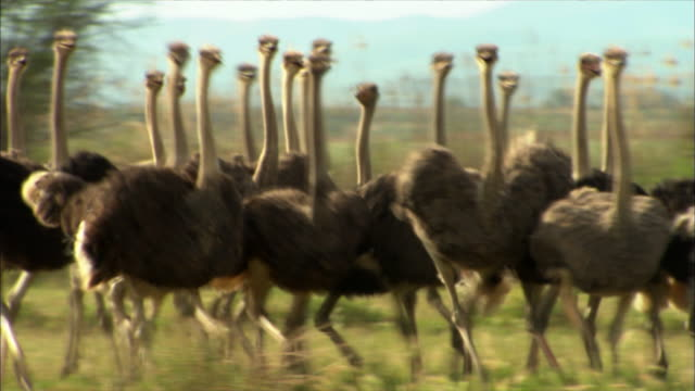a flock of ostriches trot across a savanna. - flock of birds stock videos & royalty-free footage