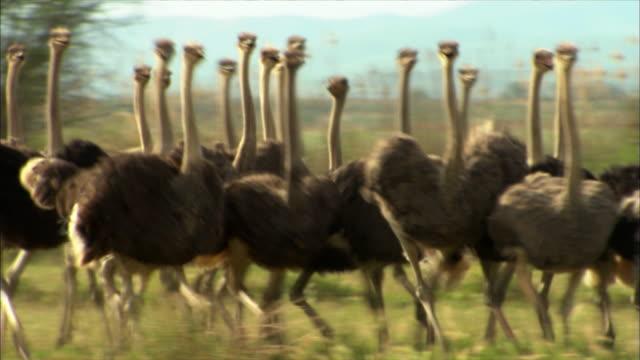 vidéos et rushes de a flock of ostriches trot across a savanna. - oiseau qui ne vole pas