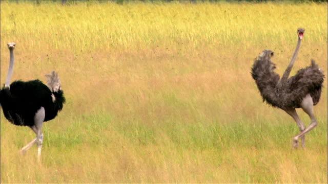 Flock of ostriches walking through savanna