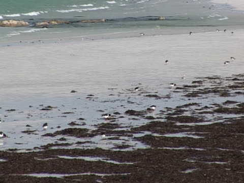 flock of oyster catchers, combing the beach, protection, hunting - medium group of animals stock videos & royalty-free footage
