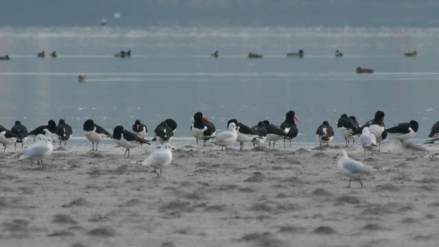 Flock of oystercatchers at shoreline of the west coast