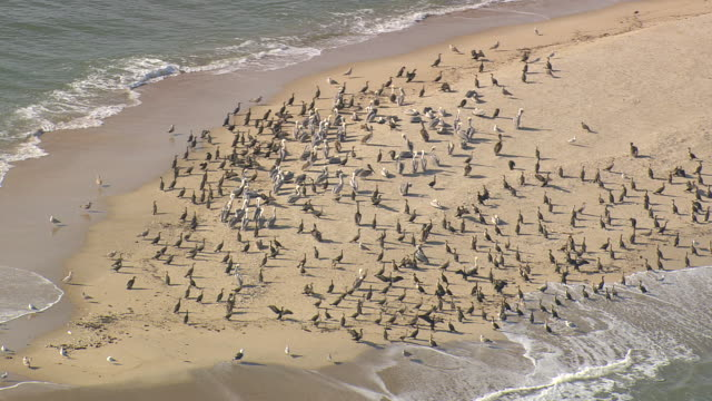 ms aerial ds zi flock of pelicans at bald head island / north carolina, united states - bald head island stock videos and b-roll footage