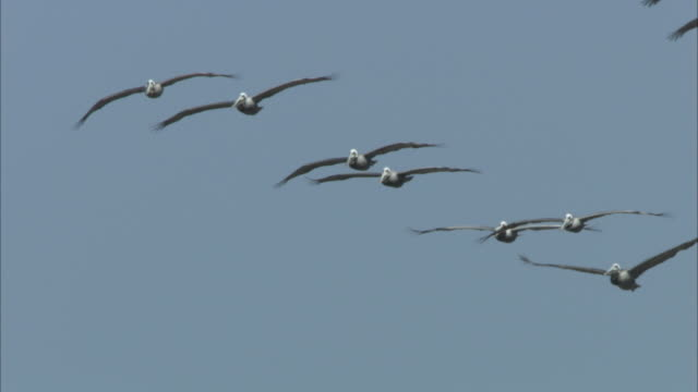 a flock of pelicans flies across a blue sky. - pelican stock videos & royalty-free footage