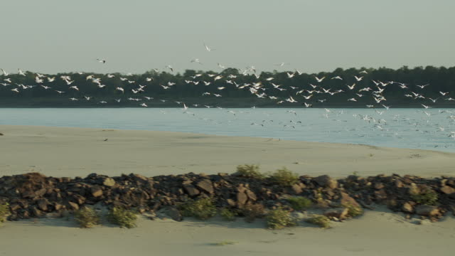Flock Of Pelicans Fly Over Sandy Shore