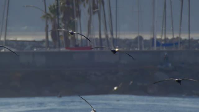 a flock of pelicans fly over the pacific ocean. - slow motion - vattenfågel bildbanksvideor och videomaterial från bakom kulisserna