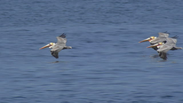 stockvideo's en b-roll-footage met a flock of pelicans fly over the pacific ocean. - slow motion - pelikaan