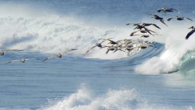 a flock of pelicans fly over the pacific ocean. - slow motion - pelican stock videos & royalty-free footage