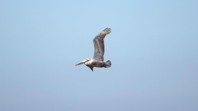 vídeos de stock e filmes b-roll de a flock of pelicans fly over the pacific ocean. - slow motion - pelicano