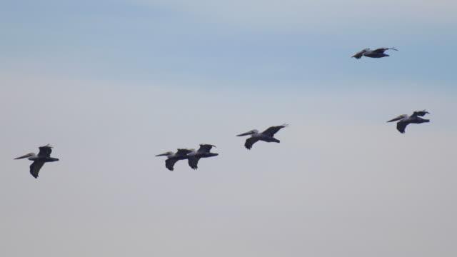 vídeos de stock e filmes b-roll de a flock of pelicans fly over the pacific ocean. - animals in the wild