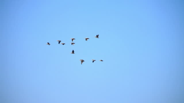 ms pan flock of pelicans flying against blue sky / valparaiso, valle central, chile - 鳥点の映像素材/bロール