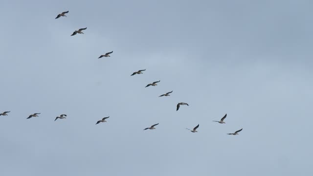flock of pelicans in the sky - animal colour stock videos & royalty-free footage