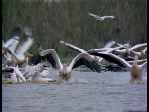 vídeos de stock e filmes b-roll de ms flock of pelicans landing on water and feeding, india - pelicano