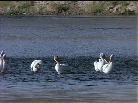 vidéos et rushes de a flock of pelicans preen on the edge of a lake. - se lisser les plumes