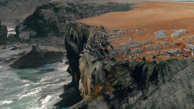 flock of peruvian pelican (pelecanus thagus) on coastal cliff / punta san juan, peru, south america - pelican stock videos & royalty-free footage