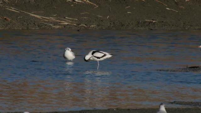 vidéos et rushes de flock of pied avocets on the river - petit groupe d'animaux