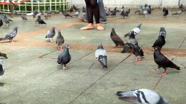 vídeos de stock e filmes b-roll de bando de pombos e pessoas. - grupo mediano de animales