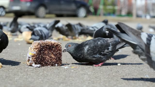 flock of pigeons eating on the street - colomba video stock e b–roll