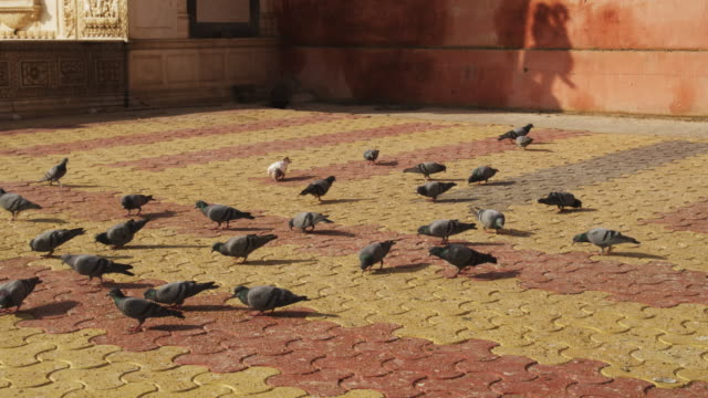 vídeos y material grabado en eventos de stock de ms flock of pigeons feeding on ground in front of entrance to karni mata temple tu as they fly up onto temple walls - patio de edificio