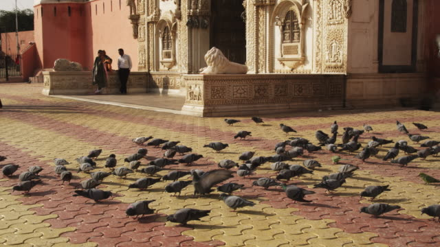 MS flock of pigeons feeding on ground in front of entrance to Karni Mata temple TU as they take off