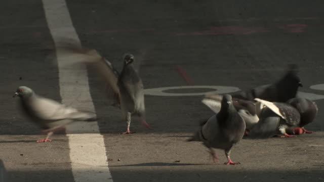 vídeos y material grabado en eventos de stock de a flock of pigeons fight for a couple of pieces of hot dog in the bike lane in nyc. - palomitas