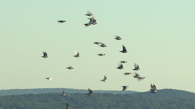 a flock of pigeons flies against the wind. - flapping wings stock videos & royalty-free footage