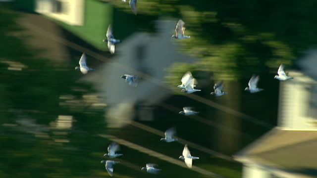 a flock of pigeons flies fast together. - battere le ali video stock e b–roll