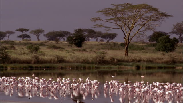 stockvideo's en b-roll-footage met a flock of pink flamingos forage in a marsh. - foerageren