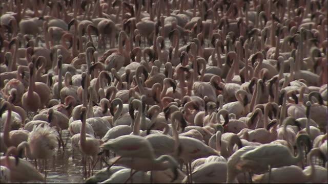 ms flock of pink flamingos in water / lake bogoria, kenya - flock of birds stock videos & royalty-free footage