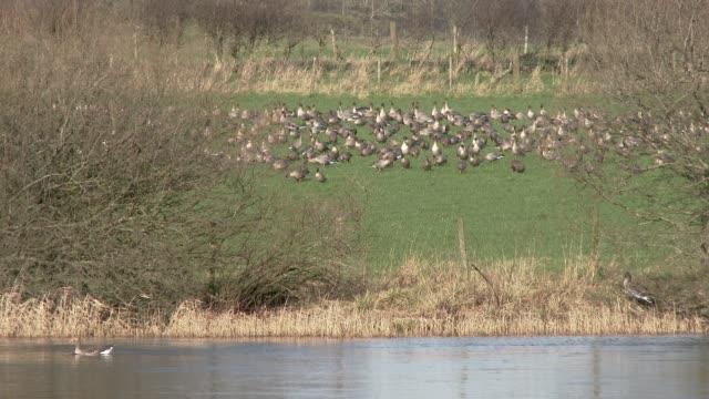 stockvideo's en b-roll-footage met kudde roze gebeende ganzen grazen in een veld naast een rivier - groep dieren