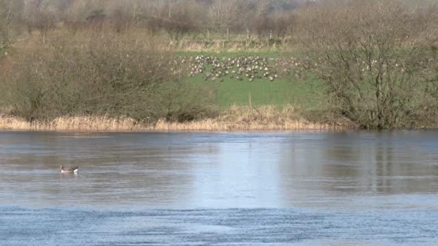Flock von Pink Footed Gänse Weiden in einem Feld neben einem Fluss