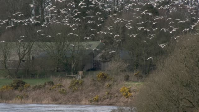 Flock of Pink Footed geese in flight