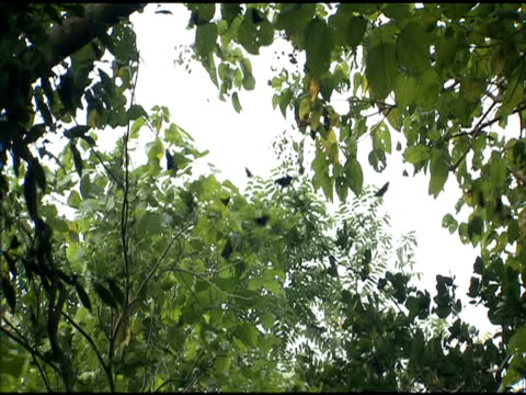 flock of purple crow butterflies flies amongst trees - taiwan stock videos & royalty-free footage