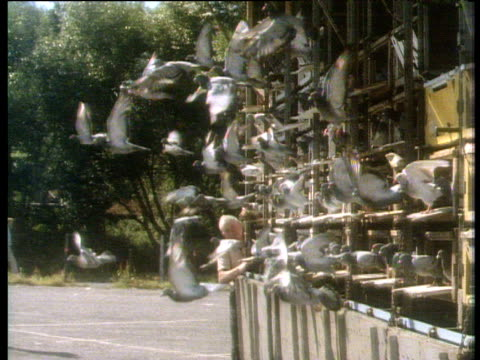 flock of racing pigeons are released from cage - colomba video stock e b–roll