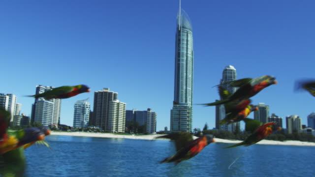 vídeos y material grabado en eventos de stock de ts flock of rainbow lorikeets flying very close to camera over sea with shoreline and hotels of gold coast australia in background - gold coast