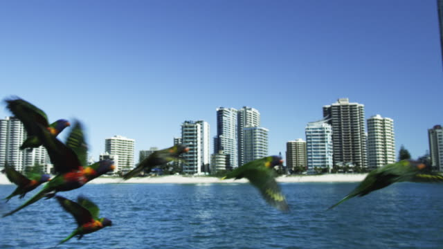 TS flock of Rainbow Lorikeets flying very close to camera over sea with shoreline and hotels of Gold Coast Australia in background