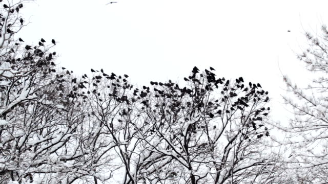 Flock of ravens gathering on a tree in the winter