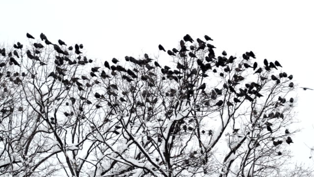 flock of ravens landing on a tree covered by snow - raven stock videos & royalty-free footage