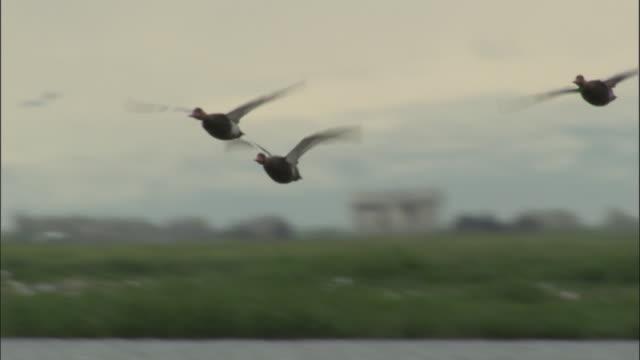 Flock of red crested pochard fly over lake, Bayanbulak grasslands.