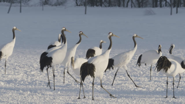 flock of red crowned cranes (grus japonicus) forage in snow. japan. - ツル点の映像素材/bロール